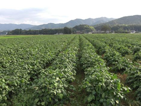 丹波黒大豆の畑